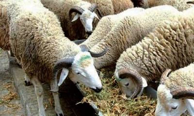 Complément_alimentaire_pour_chevaux_et_ruminants_moutons_aid_aladha_230915.jpg